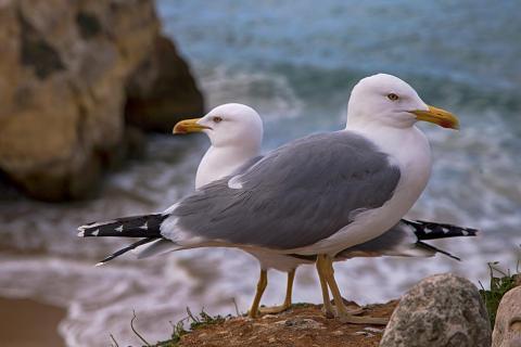 Ein Mövenpaar an der Küste der Algarve in Portugal