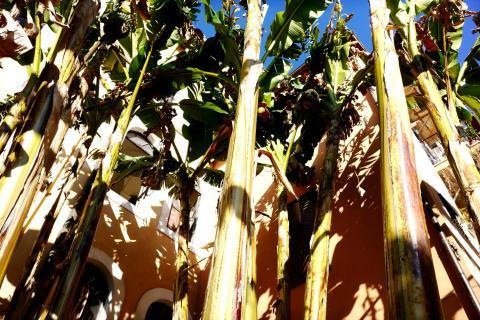 Bananenstämme