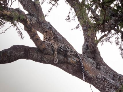 Leopard auf Baum