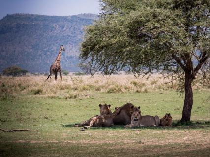 Löwenrudel mit Giraffe