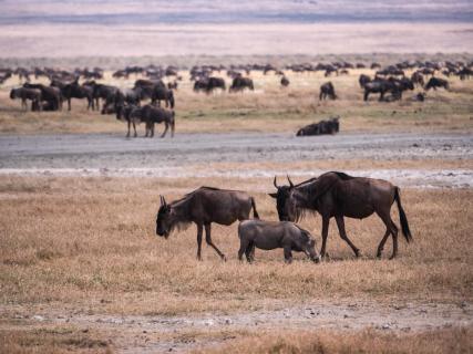 Tierwelt im Ngorongoro-Krater