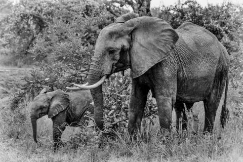 Elefant mit Jungtier,