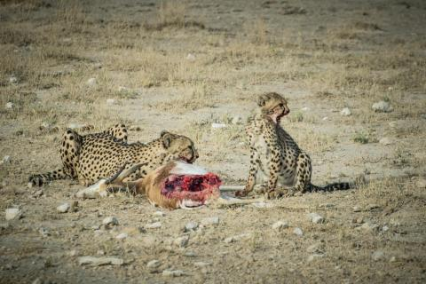 Gepard mit Jungtier