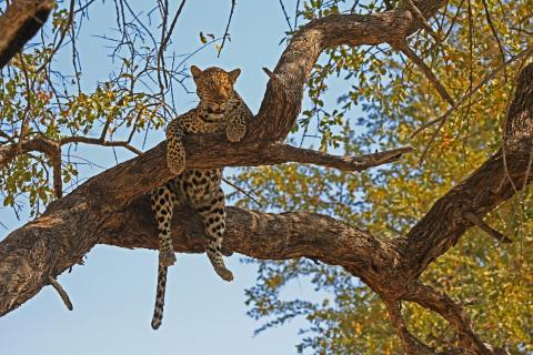 Leopard nach Lunchtime