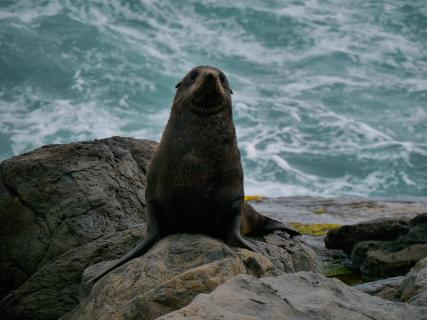 Wachsamer Seehund bei Sturm