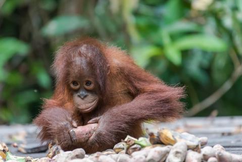Orang Utan beim Frühstück