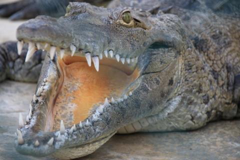 Krokodil auf Jamaika