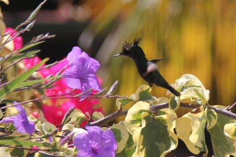 HKO IMG 9549A Kolibry w naszym ogrodzie - 1