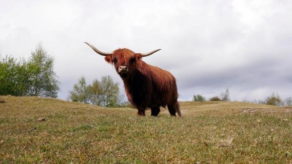 Büffel auf Weide