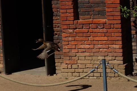 Ente bremst in der Luft