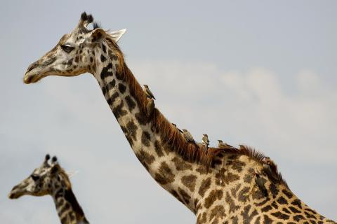 zwei giraffe