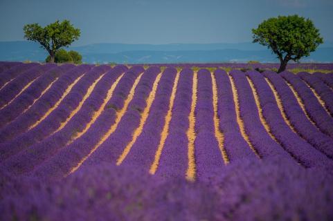 zwei baume im lavendelfeld