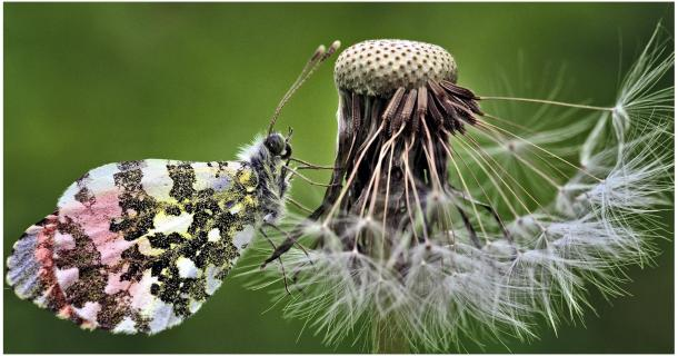 Schmetterling mit Pusteblume