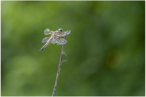 Libelle vor grünem Hintergrund