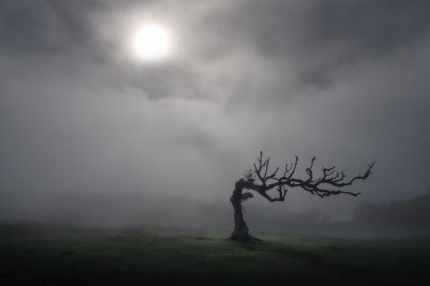 Tim Burton (Fanal tree, Madeira)