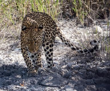 Leopardin im Etosha Nationalpark