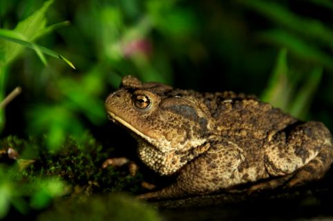 Die Hauskröte