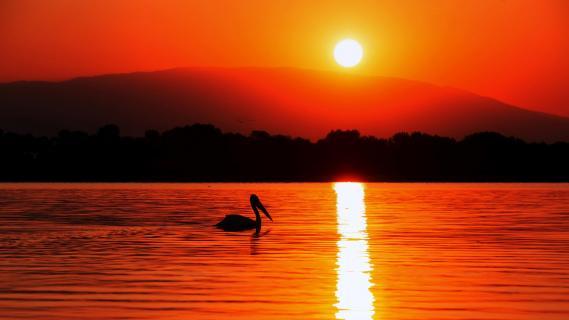 Pelikan im Sonnenuntergang