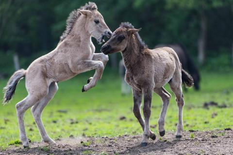 Wildpferde#