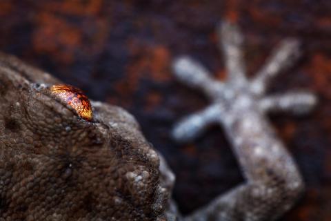 Geckoauge