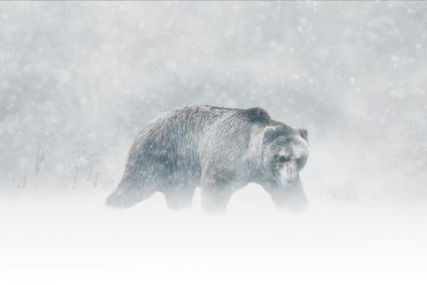 Kodiak Bär im Schnee