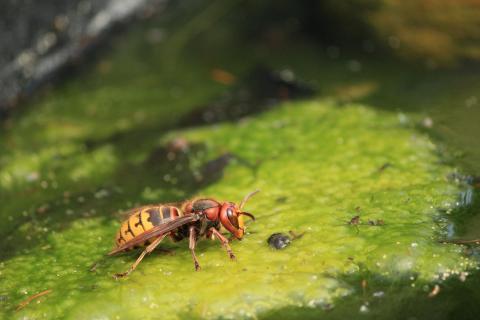 Hornisse bei der Wasseraufnahme