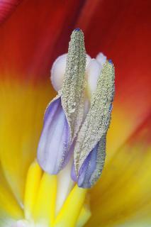Blütenstempel einer Tulpe