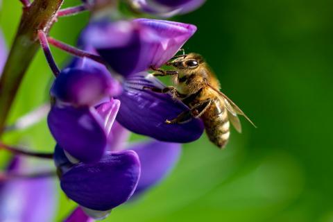 Bienchen bei der Arbeit