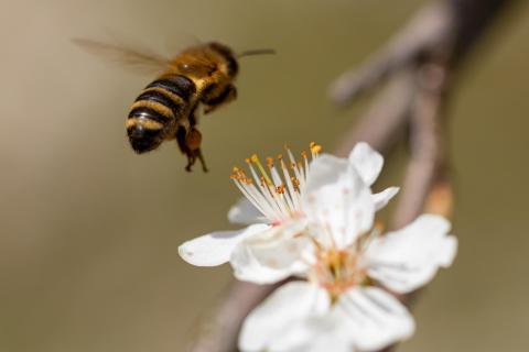 Biene beim Landeanflug