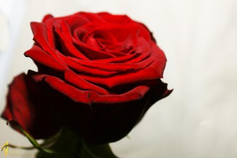 Einfach nur Rose