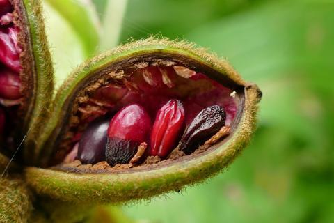 Frischer Samen von der Pfingstrose