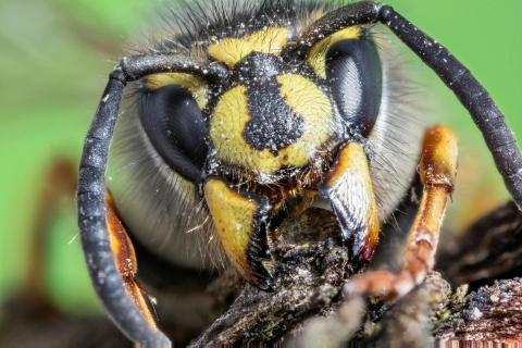Deutsche Wespe holt sich Baumaterial