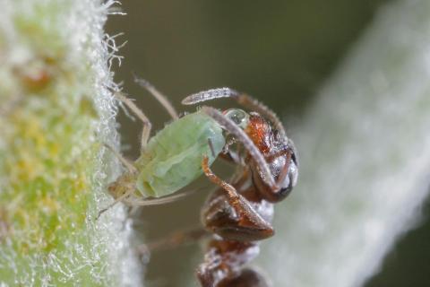 Knotenameise melkt eine Blattlaus
