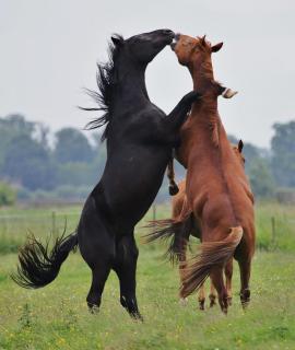 Pferdekampf