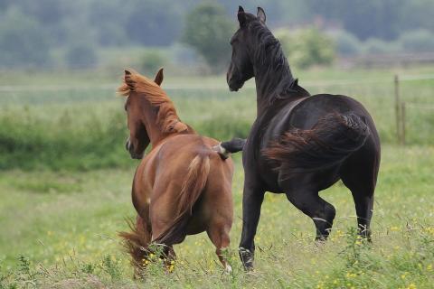 Pferdestupser