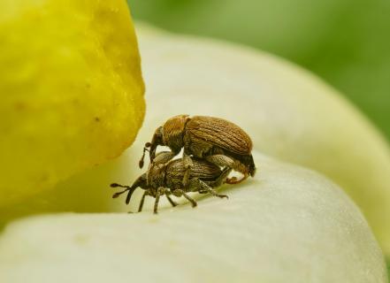 Rüsselkäfer