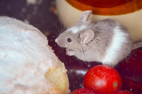 Maus beim Frühstück