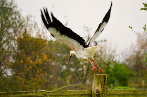 abhebender Storch