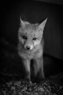 Neugieriger kleiner Fuchs