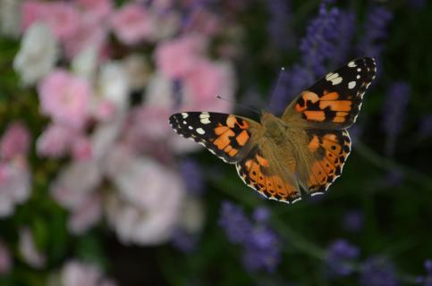 Vanessa, mein Schmetterling