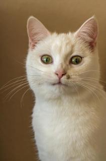 Portrait einer Hauskatze