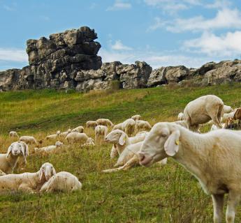 Schafe unter der Teufelsmauer im Vorharz