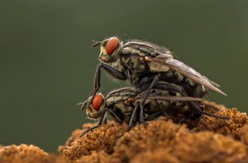 Fliegen bei der Paarung