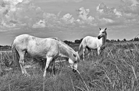 Wildpferde in der Camargue