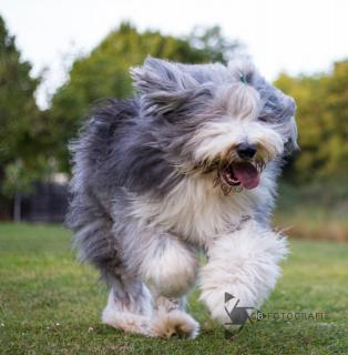 Windspiel Hund