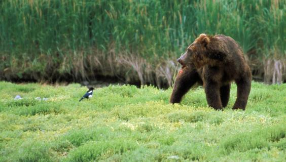 Elster und Bär