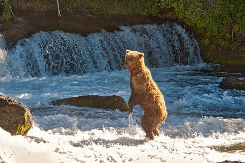 Stehender Bär