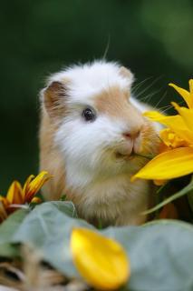 Schweinchenportrait