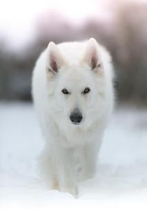 Schneewolf