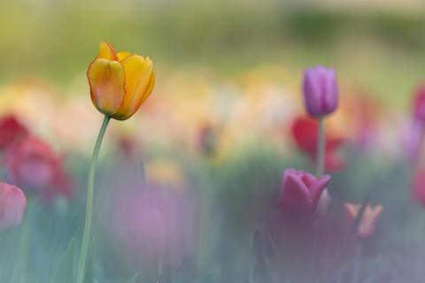 Tulpen-Farbflash
